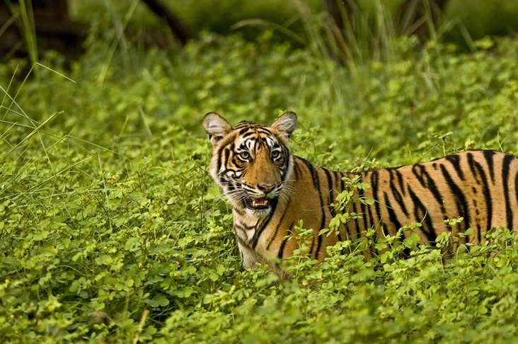India Ranthambore tiger